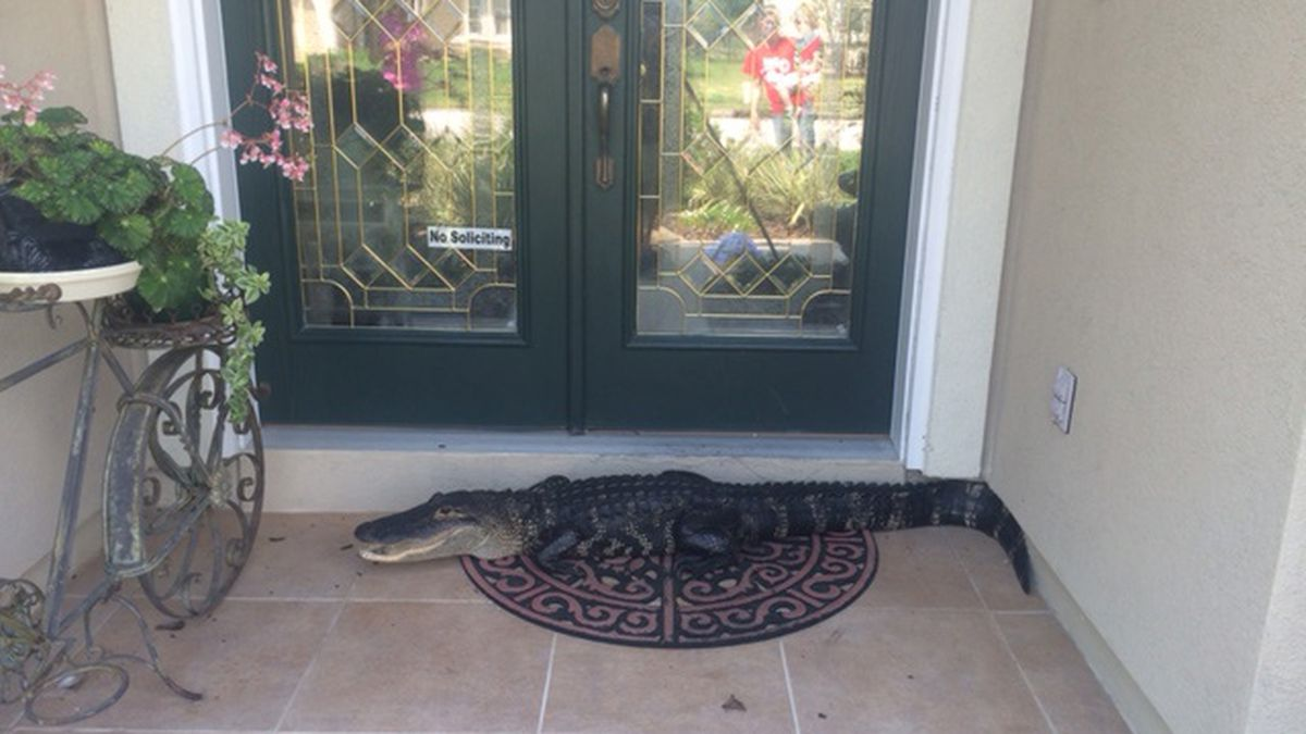 Photos: Alligator removed from front door of Fleming Island home