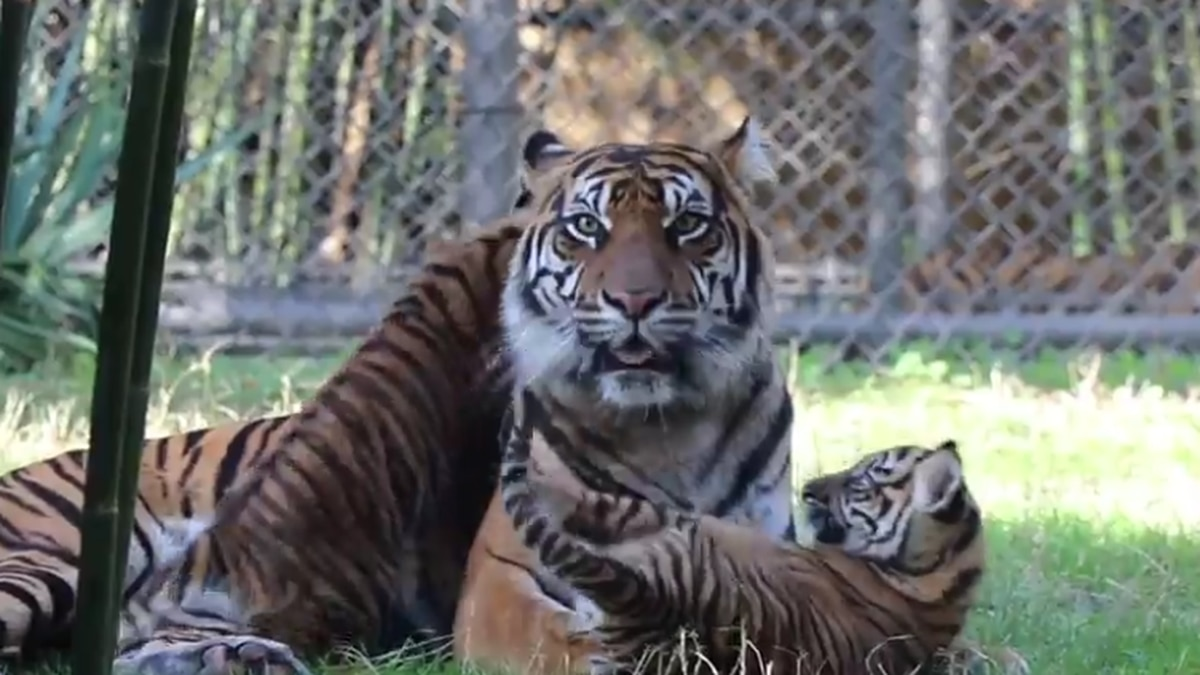 Jacksonville Zoo tiger cubs to make public debut