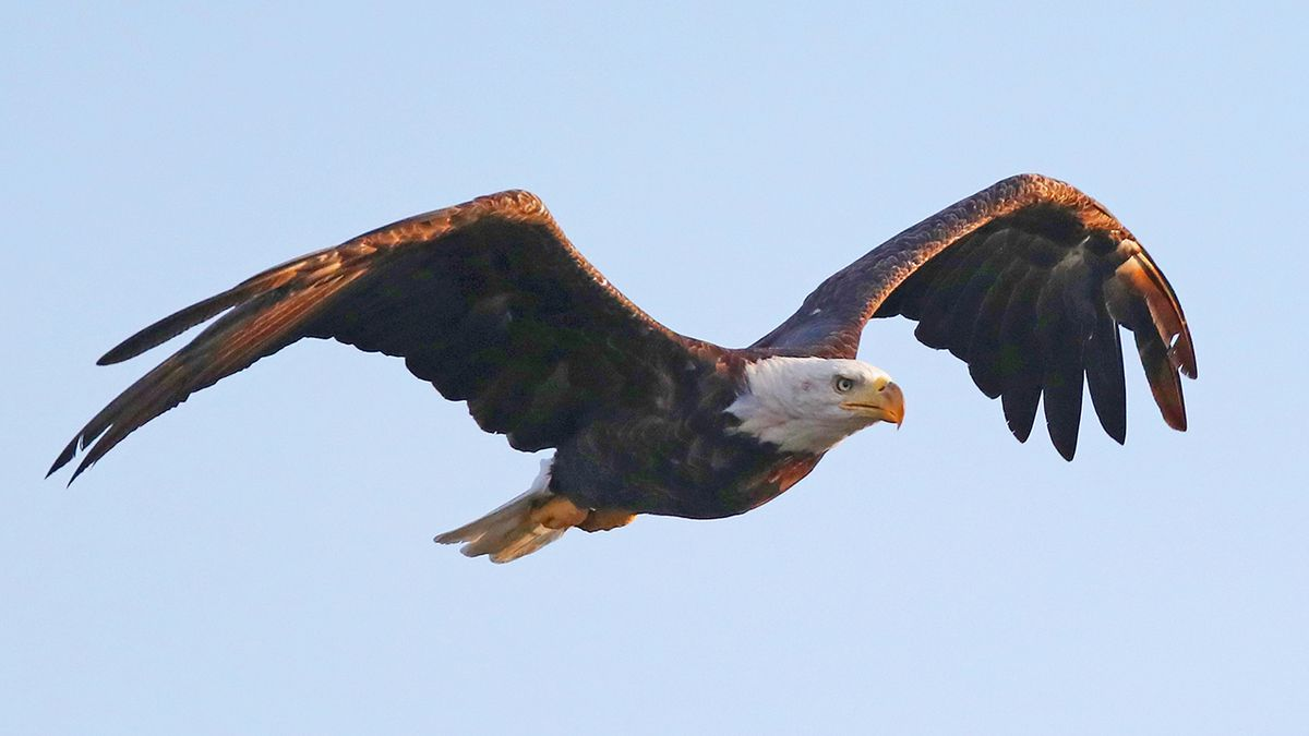 Authorities investigate after bald eagle shot, killed in Indiana