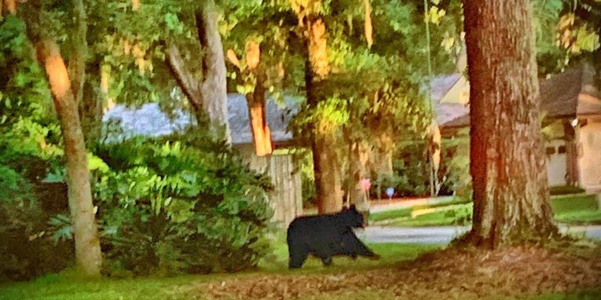 Bear spotted in Fleming Island