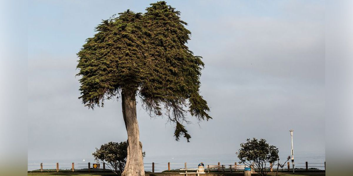 Dr. Seuss' famous 'Lorax' tree topples over in California, perplexing park officials