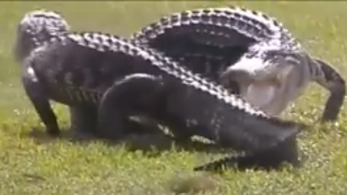WATCH: Two gators duke it out on Florida golf course