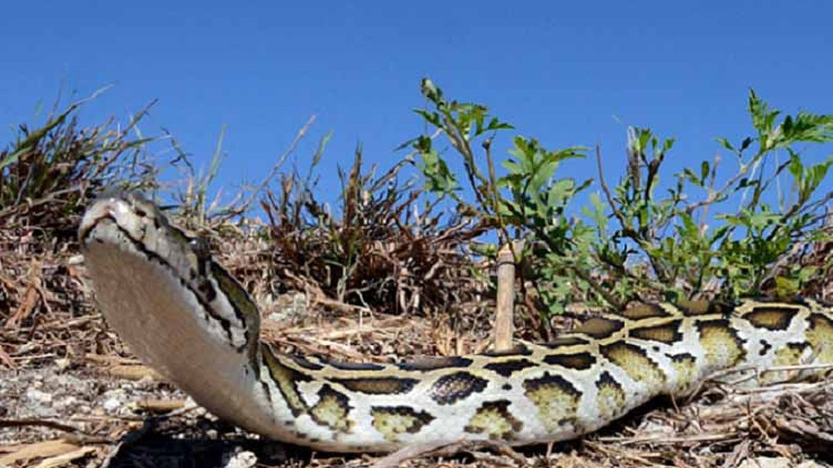 Florida man catches 17-foot python in Everglades