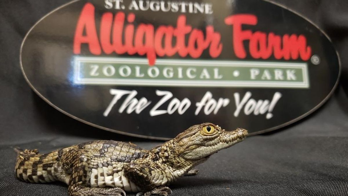 St. Augustine: 17th species of crocodile hatches at alligator farm