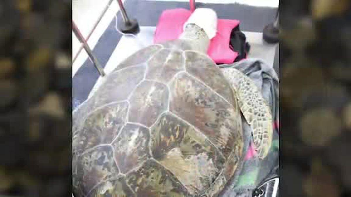 Last known female Yangtze softshell turtle dies in China