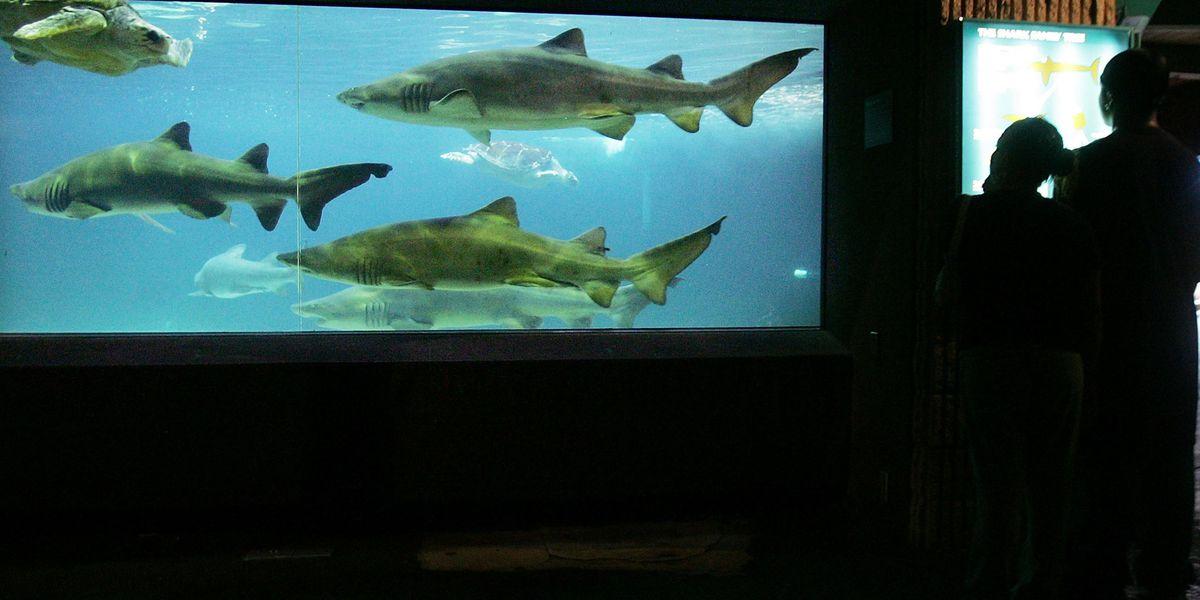 Sink or swim: Mako sharks predict DeSantis, Nelson will win Florida race