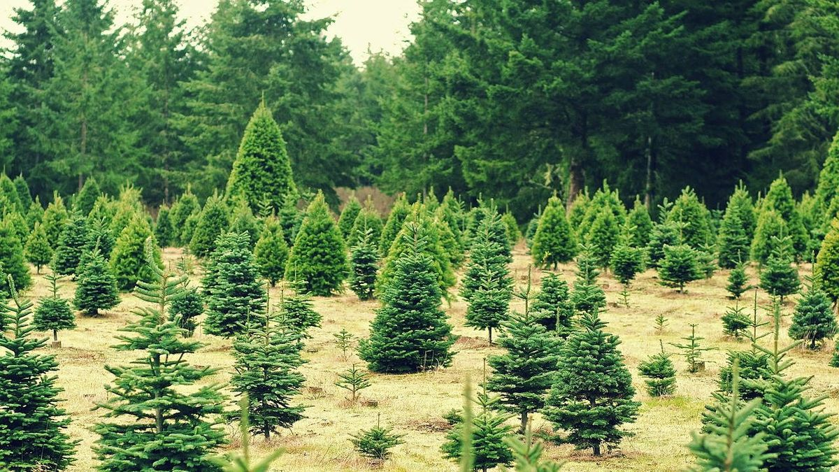 Man arrested after 78 Christmas trees stolen from Washington state farm