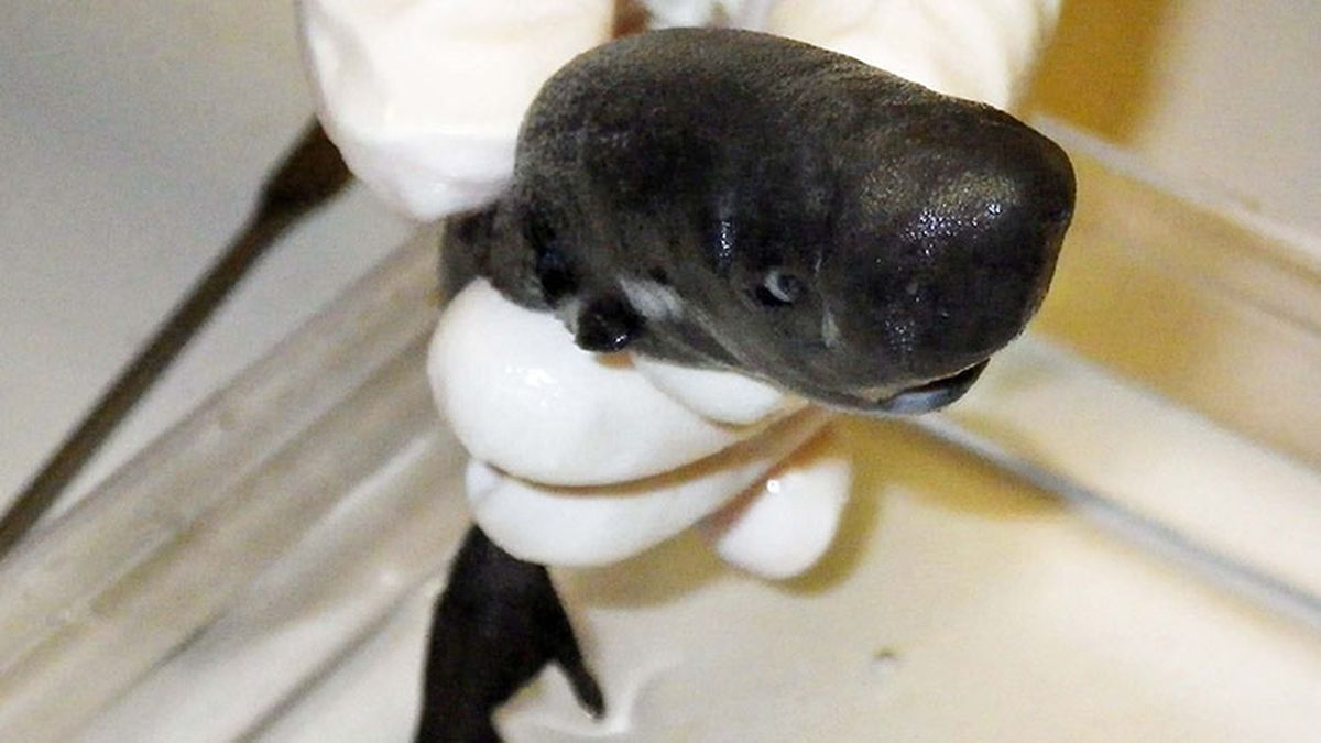 Tiny, glow-in-the-dark shark discovered in Gulf of Mexico