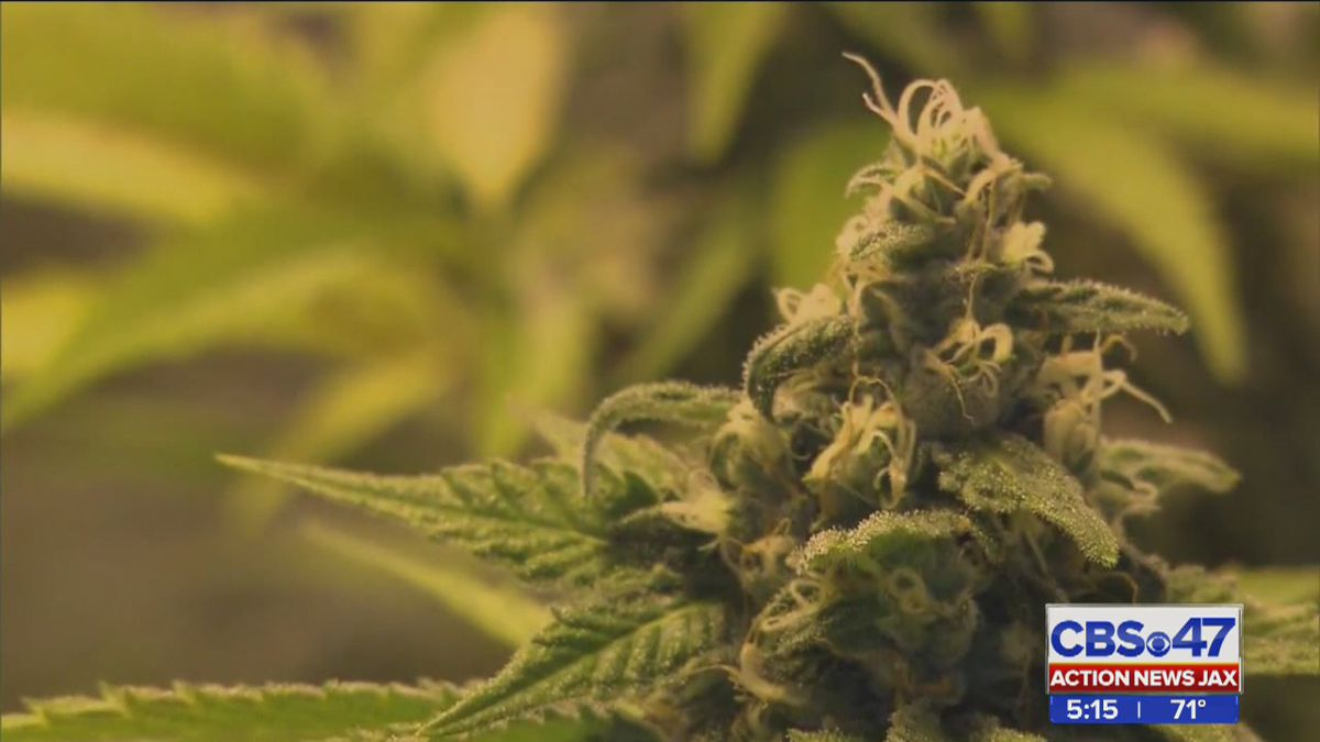 Report: Up to half a million people eligible for medical marijuana in Florida